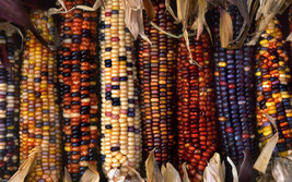 35 Giant Rainbow Corn-1297 - $3.98