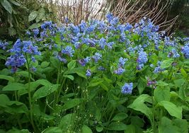 Virginia Blue Bell 5 roots native wild flower, shade lover image 2