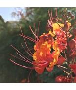 Caesalpinia pulcherrima Plant Seeds Lot 1 Dozen (12) Desert Red Bird of ... - $6.92