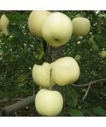 High yield Big White Sweet Apple 10 Seeds, tasty crisp organic apple tre... - $6.99