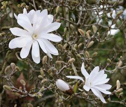 Star Magnolia- Magnolia stellata image 3