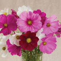 Sensation Mix Cosmos Seed / Rubenza Cosmos Flower Seeds - $17.00