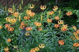Turk's Cap Lily 5 root bulbs  Lilium superbum image 2