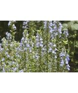 SHIPPED FROM US 600+GREAT BLUE LOBELIA Wetlands Prairie Woodland Seeds, ... - $16.50