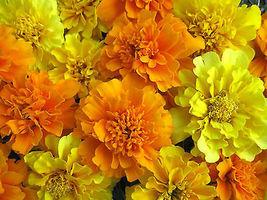 100 Pcs Mixed Marigold Seeds, Bonbon Farm Mix, French Marigolds, Heirloo... - $13.99
