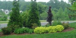 Green Giant Arborvitae 50 trees Thuja plicata 3 inch pot image 9