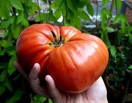 2g / 40 Seeds of Tomato Giant - $18.93