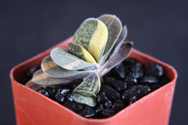 "Ship From Us, 2"" Gasteria Gracilis Variegated, Succulent Plant Cacti Ecc - $44.99"