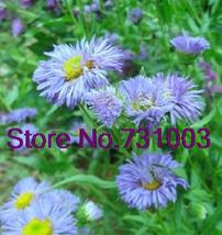 bonsai 50pcs/pack Blue Beauty Perennial Flower drought tolerant Garden B... - $2.79