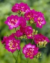 Freesias Purple Rain 25 Bulbs Plant Seeds flower home Yard Garden Roots ... - $15.99