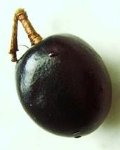 COCOPLUM FRUIT Chrysobalanus icacorare sweet exotic tropical plum seed 15 SEED - $9.99