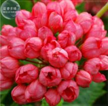 10 SEED Geranium 'Tulip Orangish Red Bud' Perennial Bonsai Flowers A - $4.25