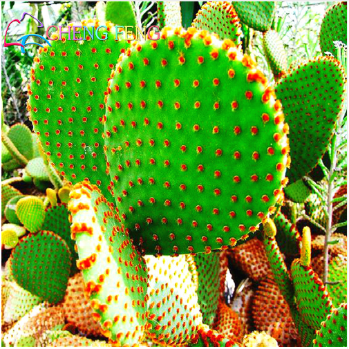 Used, 50Seedspack Cactus Potted Plant Seeds Family Garden Anti-radiation Bonsai Cactus for sale  USA