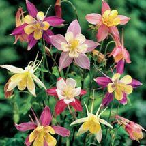50 Wild Mix Columbine Seeds Flower Perennial Flowers Seed Bloom - $7.68
