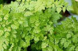 Chervil Seeds - Curled - Herb Seeds - Outdoor Living - Starts Nursery - Garden - $25.50+