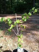 Black Primo Muscadine 3 Gal Vine Plants Vines Plant Grapes Vineyards Wine - $53.30