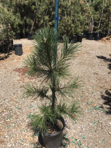 "Primary image for Bonsai Tree - Japanese Black Pine - Live Plant - 36"" Tall - Great Bonsai Tree"