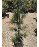 "Bonsai Tree - Japanese Black Pine - Live Plant - 36"" Tall - Great Bonsai Tree - $65.55"