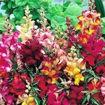 50 Seeds of Frosted Flames Snapdragon Fower Mix / Varigated Leaves Antirrhinum - $16.83