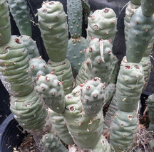 Tephrocactus articulatus v. strobiliformis Knob Cone Few Paper Spines Ca... - $9.85