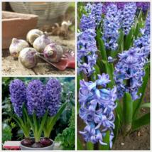 5 Bulbs Hyacinth Delft Blue, Hyacinthus Orientalis Flower Plant - $17.79