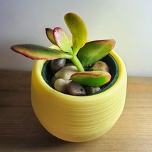 Jade Succulent in Yellow Self-Watering Pot, Live Plant Hummel's Sunset Crassula - £7.82 GBP