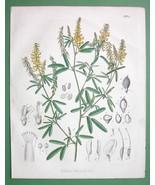YELLOW SWEET CLOVER Medicinal Melilotus - 1860 SCARCE Color Botanical Print - $11.47