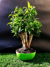 """Ficus Microcarpa Bonsai - A special tree - """"Plant connection method"""" - $246.51"""