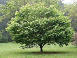 American Hornbeam tree (Carpinus caroliniana) quart pot image 5