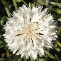 Tall White Cornflower Seeds | Bachelor Button Seeds I 10 seeds - $14.96