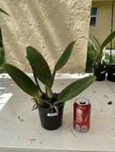Pot Elegant Walker 'non' CATTLEYA Orchid Plant Pot BLOOMING SIZE 0506 S image 2