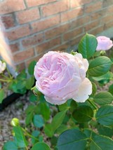 Star Rose Bush Starter Plant - Earth Angel - Ships Without Pot - Gardening - $70.00