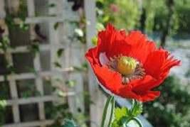 Poppy Danish Flag - 2500 Seeds - Papaver somnifer - Huge Flowers - Annual - $8.90