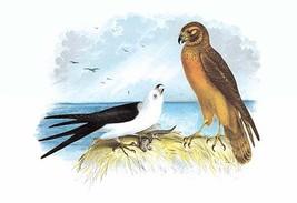 Swallow-Tailed Kite and Marsh Hawk by Theodore Jasper - Art Print - $19.99+