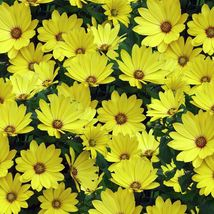 African Daisy Seeds - Yellow ,Perfect for garden or container.100 seeds - $11.99