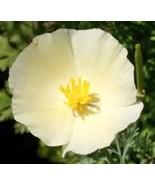 SHIPPED From US, IVORY CASTLE CALIFORNIA POPPY FLOWER 100 FRESH SEEDS-SPM - $16.99