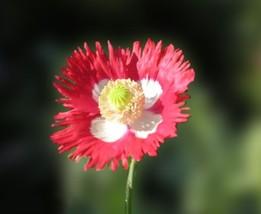Poppy Danish Flag/Queens 500 Flower Seeds - $12.98