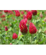 Dixie Reseeding Crimson Clover Cover Crop Green Manure Bee - 5g (450 See... - $6.25