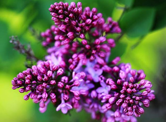 700  Syringa oblata Early Lilac Shrub Tree Seeds Bonsai Exotic Plants Seeds  image 2