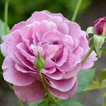 Heirloom Rose Live Plants (Purple Flower) #STR11 - $110.17