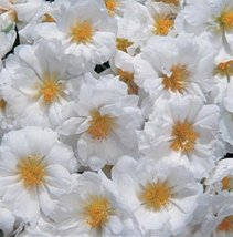 50 Seeds of Portulaca Sundial White Annual - $16.83