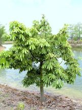 PACHIRA GLABRA aquatica Guiana Chestnut cauduciform caudex bonsai seed -5 seeds - $18.00
