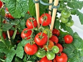 "25+PATIO BUSH TOMATO Seeds Organic 5 oz Fruits 36"" Plant Garden/Patio Co... - $2.50"