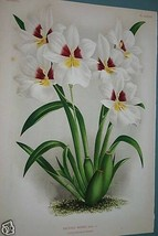Lindenia Orchid Print Limited Edition Miltonia Roelli Collector Wall Dec... - $15.19