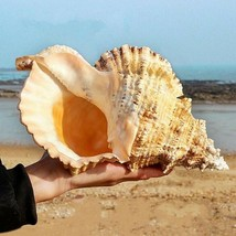 Conch Shell Collectibles Natural Ornaments For Decoration Tank And Gift - $59.39