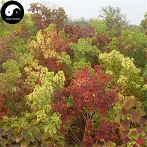 Buy Sapium Sebiferum Tree Seeds 60pcs Plant Stuppinu Tree For Chinese Wu... - $9.99
