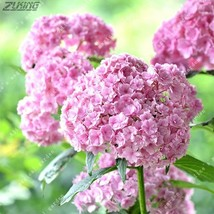 20 pcs/bag Bonsai Hydrangea Seed Balcony or Courtyard Perennial Flower S... - $2.18