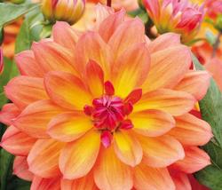 20pcs Very Amazing 'Fire Pot' Dahlia Flower Seeds IMA1 - $14.05