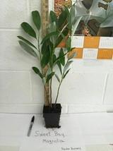 SWEETBAY MAGNOLIA, Laurel Magnolia, Swamp Magnolia qt. pot image 2