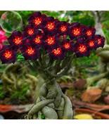 Rare Brown Black Adenium Desert Rose With Fire Red Heart Flower 1PCS Bon... - $6.37